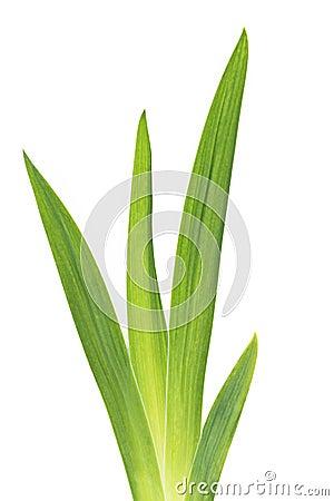 Free Green Iris Leafs Royalty Free Stock Photography - 14873627