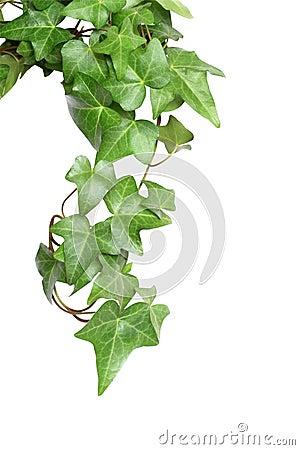 Free Green Ivy Stock Photos - 14152593