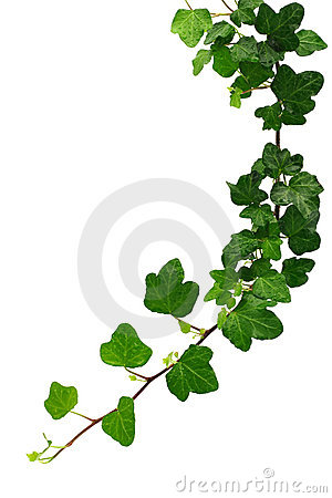 Free Green Ivy Stock Photo - 2776270