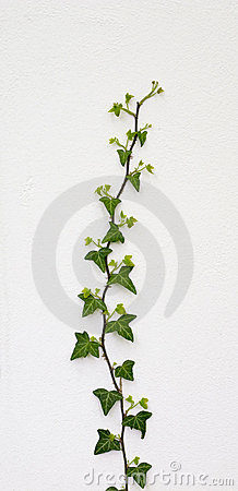 Free Green Ivy Stock Image - 5167931