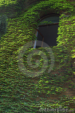 Green ivy covered wall