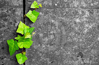Green ivy in cracked stone background
