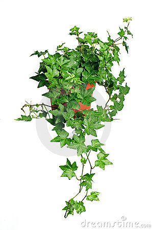 Free Green Ivy In Pot Royalty Free Stock Photography - 1877427