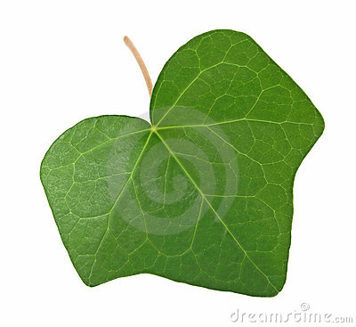 Green ivy leaf