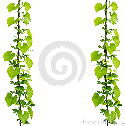 Free Green Ivy Plant Royalty Free Stock Photography - 59000537