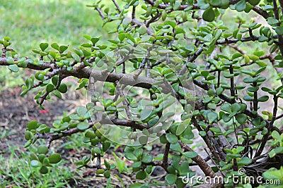 Green Jade Plant Crassula Ovata