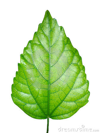 Free Green Leaf Stock Photos - 1405343