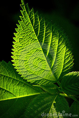 Free Green Leaf Royalty Free Stock Photography - 14438907