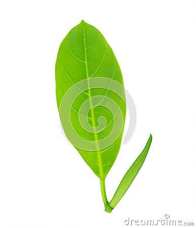 Free Green Leaf Stock Photos - 19652563