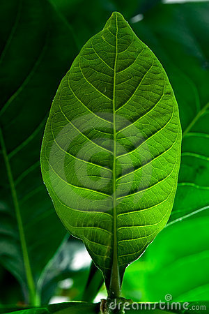 Green Leaf Royalty Free Stock Image - Image: 3153766
