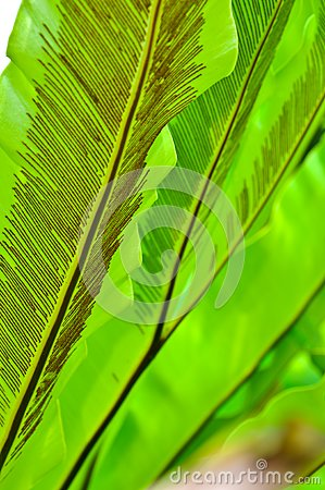 Green Leaf of Bird s Nest Fern