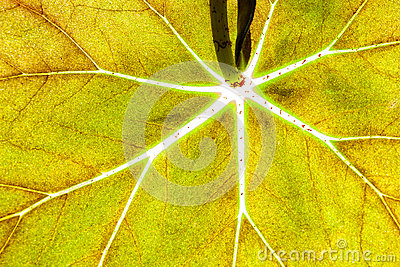 Green leaf bright veins texture