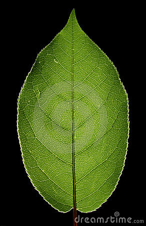 Free Green Leaf Close Up Royalty Free Stock Image - 14193676