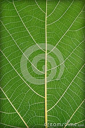 Green leaf closeup