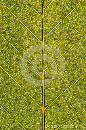Free Green Leaf Closeup Stock Photography - 25974332