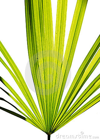 Green leaf of fan palm