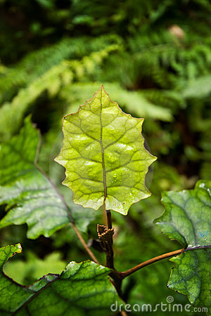 Green Leaf in Forest