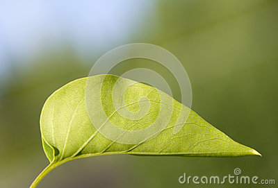 Green leaf of lilac