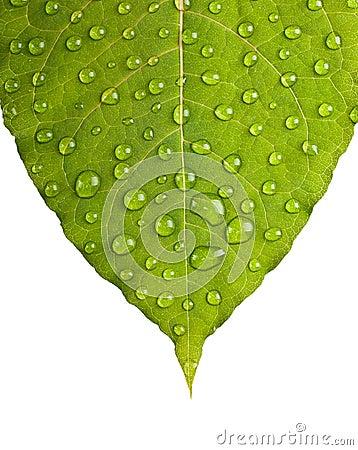 Free Green Leaf Macro Stock Photo - 33404320