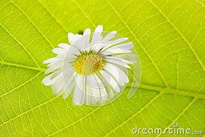 Green leaf macro and camoilem