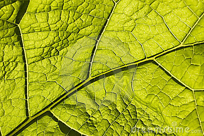 Green leaf with macro venation