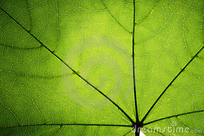 Green leaf of a maple