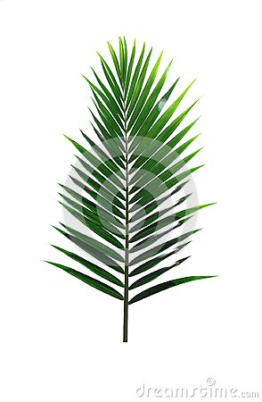 Free Green Leaf Of Coconut Palm Tree Isolated On White Background Stock Photos - 114135793