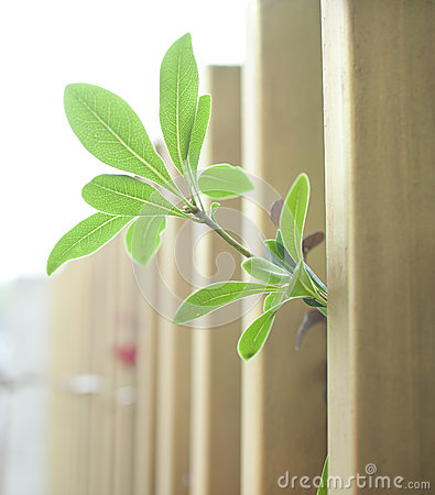 Green leaf out of wood fence