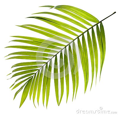 Green leaf of palm tree on white Stock Photo