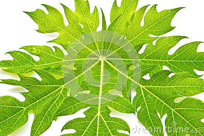 Green leaf/ papaya leaf