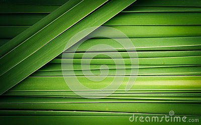 Green leaf of Papyrus abstract