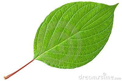 Green Leaf With Red Stem Stock Photos Image 21185663