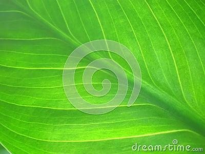 Green leaf texture macro
