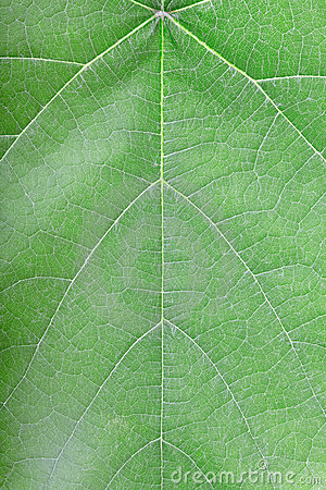 Green leaf vein texture background