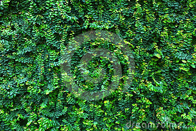 Green leaf Wall ,Backgrounds