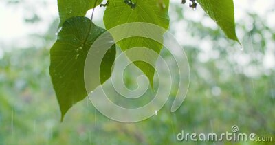 Green leaf with water drops in the rain stock footage