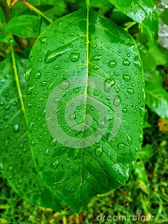 Free Green Leaf With Water Drops Royalty Free Stock Image - 126688786