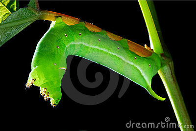 Green leaf worm