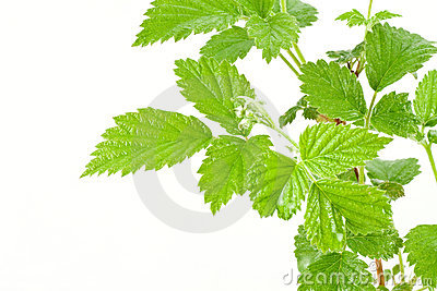 Green leafy plant over white