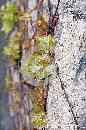 Green leafy vines