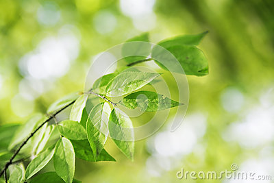 Green Leaves Royalty Free Stock Photo - Image: 24858365