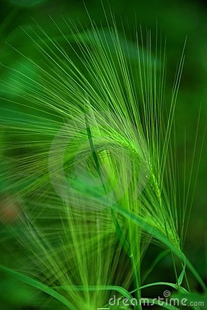 Free Green Leaves Royalty Free Stock Images - 4368549