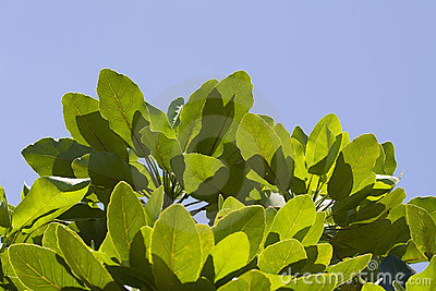 Green leaves against the sun