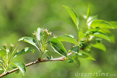 Green leaves of apple tree