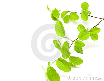 Green leaves branch