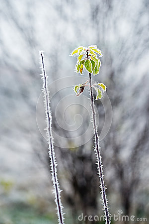 Green leaves covered with frost