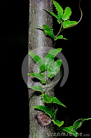 Green leaves of creeper plant on tree