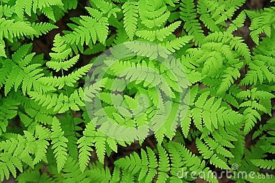 Green leaves of a fern
