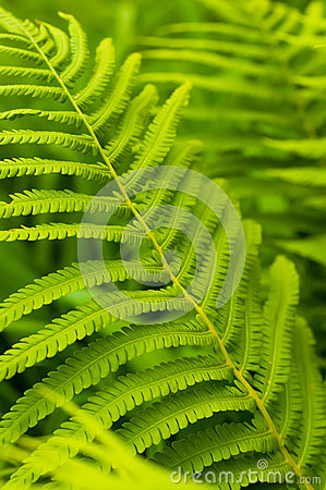 Green leaves of fern, tropical forest