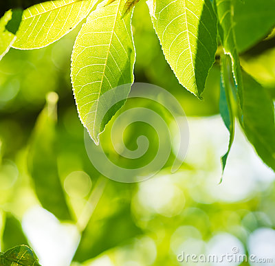 Green leaves glowing in sunlight